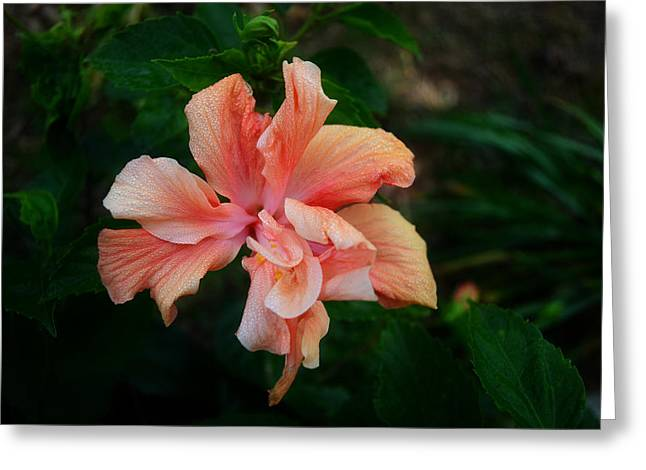 Peaches Pyrography Greeting Cards - Peach Hibiscus  Greeting Card by Malgorzata Fairman