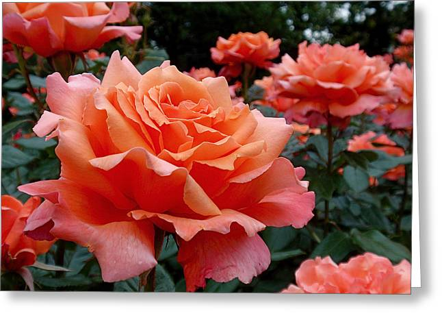 Vibrant Greeting Cards - Peach Roses Greeting Card by Rona Black