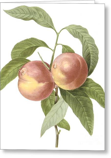 Peach Drawings Greeting Cards - Peach Greeting Card by Spencer McKain