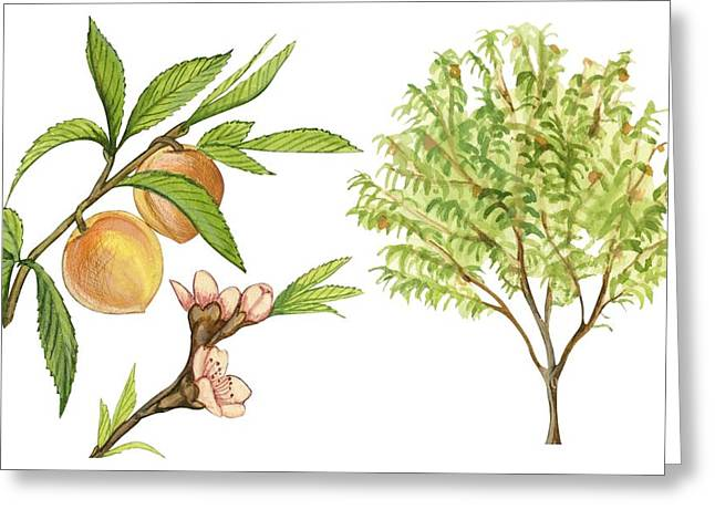 White Background Drawings Greeting Cards - Peach tree Greeting Card by Anonymous