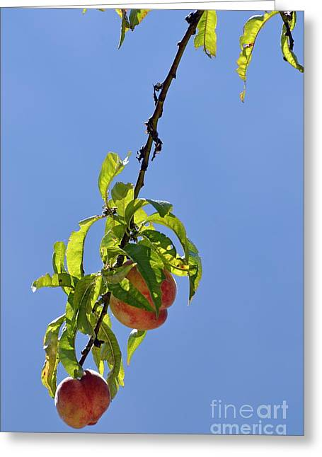 Peaches Hanging From Tree Greeting Card by Sami Sarkis
