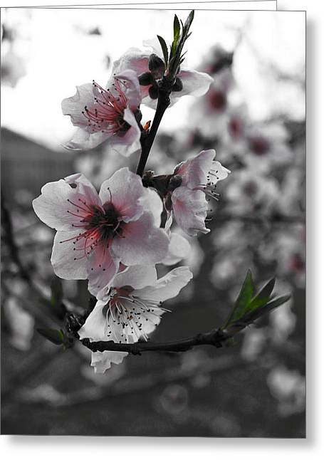 Peaches In Bloom Greeting Card by Jeannie Owens