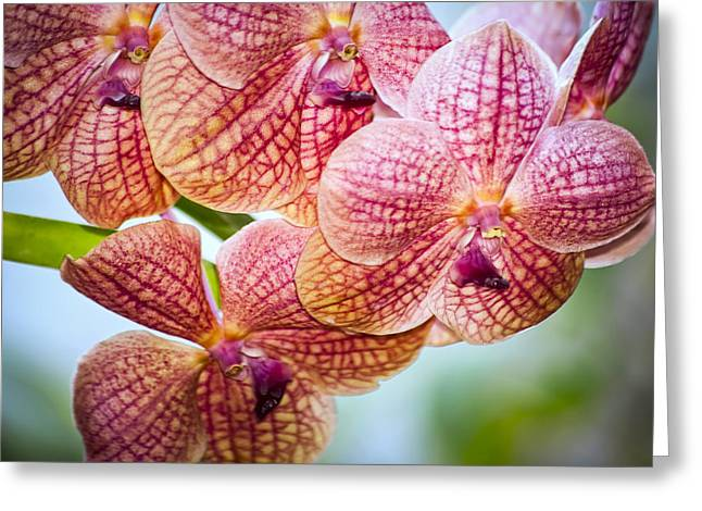 Phalaenopsis Orchid Greeting Cards - Peachy Pink Greeting Card by Carolyn Marshall