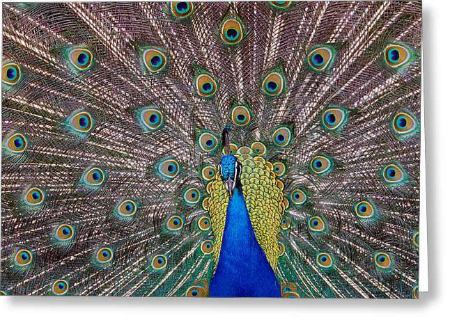 Colorful Photography Greeting Cards - Peacock Bird Displaying Feathers Greeting Card by Panoramic Images