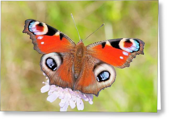 Peacock Butterfly (inachis Io) Greeting Card by Dr. John Brackenbury