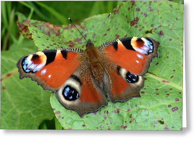 Peacock Butterfly Greeting Card by Nigel Downer