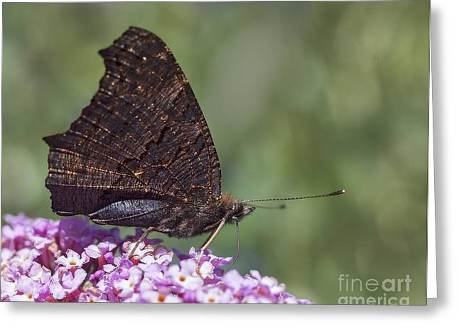 Wild Greeting Cards - Peacock Butterfly on Buddleija Greeting Card by Liz Leyden