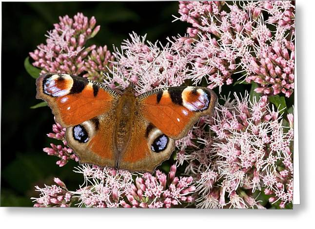 Peacock Butterfly On Hemp Agrimony Greeting Card by Bob Gibbons