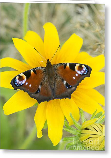 Nymphalidae Greeting Cards - Peacock Butterfly on Rudbeckia Flower  Greeting Card by Tim Gainey
