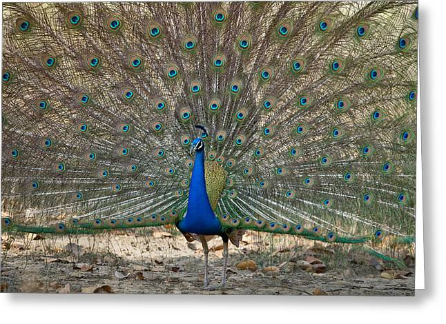 Zoology Greeting Cards - Peacock Displaying Its Plumage Greeting Card by Panoramic Images