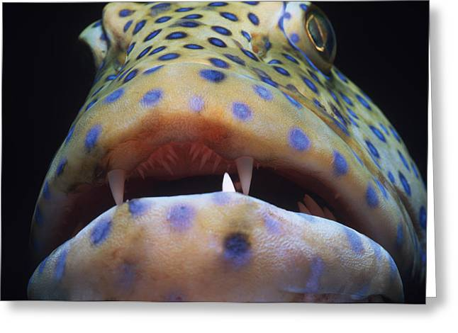 Peacock Grouper Mouth Greeting Card by Jeff Rotman