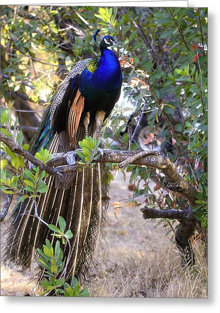 Peacock In Solano Greeting Card by Newman Artography
