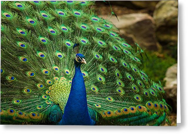 Jamesbarber Greeting Cards - Peacock Greeting Card by James Barber