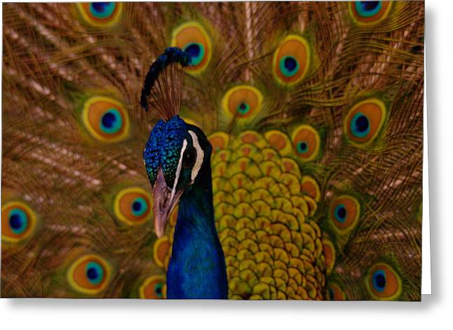 Peacock Greeting Card by Jeff Swan