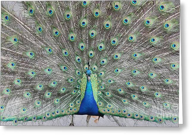 Blue And Green Greeting Cards - Peacock Greeting Card by John Telfer