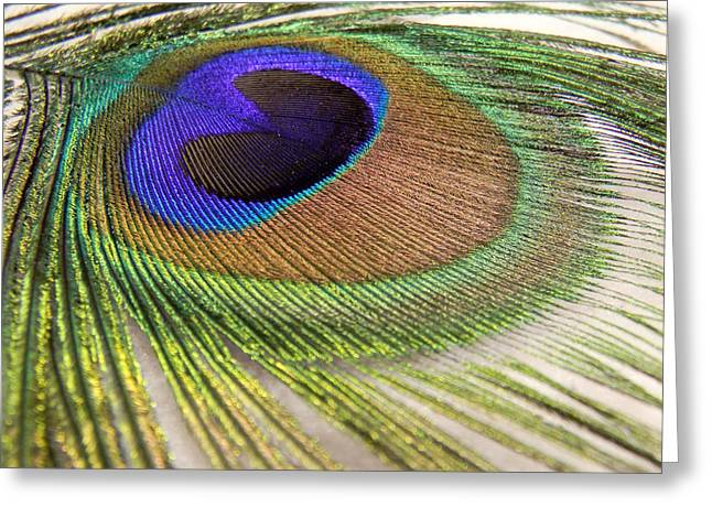 Kelly Photographs Greeting Cards - Peacock Greeting Card by Kelly Howe