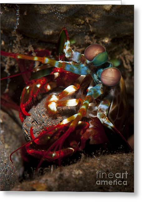 Undersea Photography Greeting Cards - Peacock Mantis Shrimp Moving A Rock Greeting Card by Steve Jones