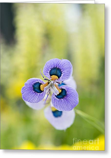 Lilac Greeting Cards - Peacock Moraea Flower Greeting Card by Tim Gainey