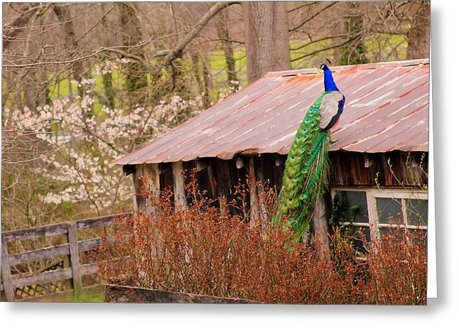 Best Sellers -  - Tin Roof Greeting Cards - Peacock on a Tin Roof Greeting Card by Stacy Redmon