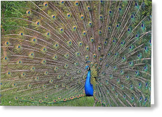 Strut Photographs Greeting Cards - Peacock Spread Greeting Card by Jodi Pflepsen