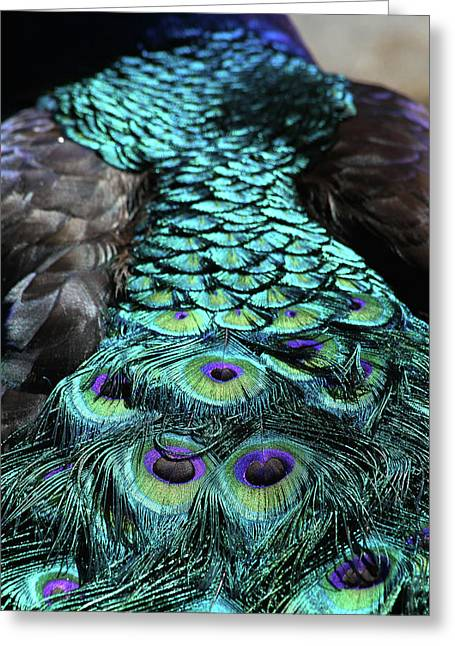 Large Birds Greeting Cards - Peacock Trail Greeting Card by Karol  Livote