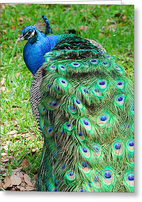 The Nature Center Greeting Cards - Peacock - Watch Me Greeting Card by Maria Martinez