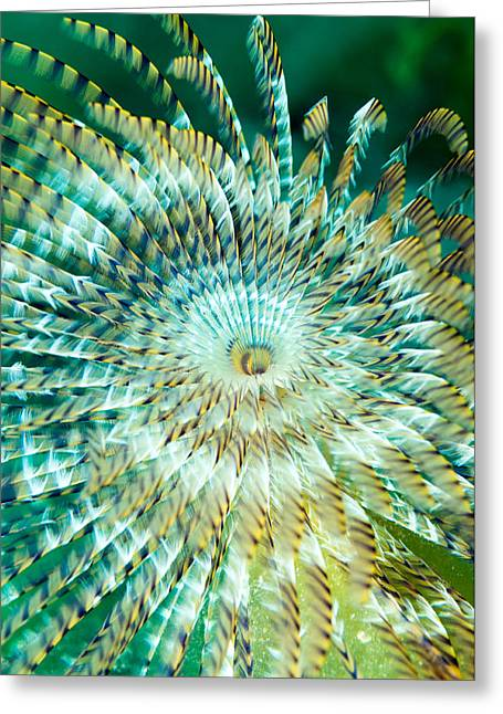 Pictures Sea Creatures Photographs Greeting Cards - Peacock Worm Greeting Card by Roy Pedersen