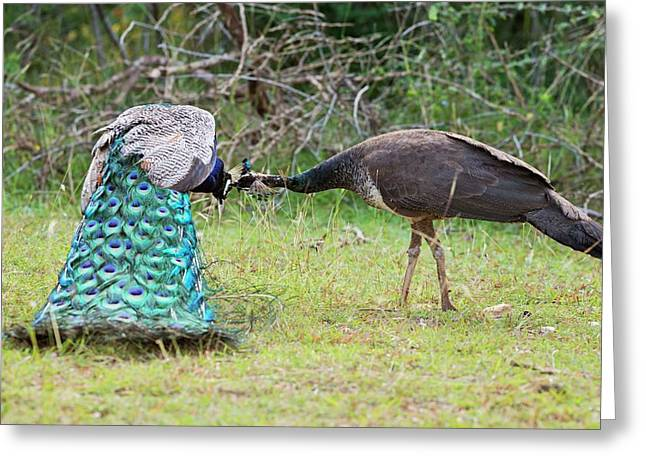 Peafowls Allopreening Greeting Card by Tony Camacho