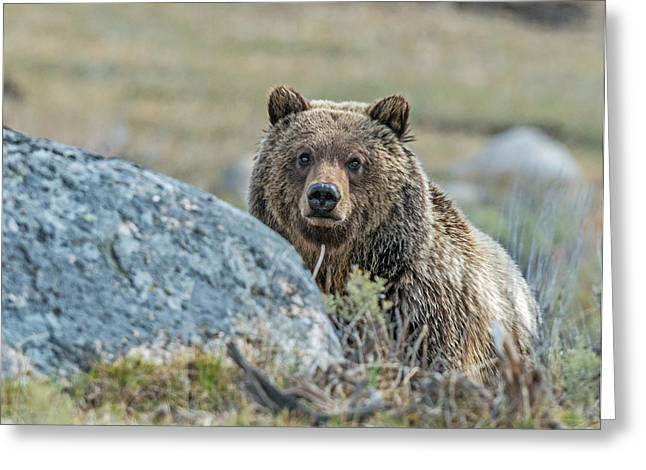 Meadown Greeting Cards - Peak-a-Boo Grizzly Greeting Card by Dawn Y Wilson