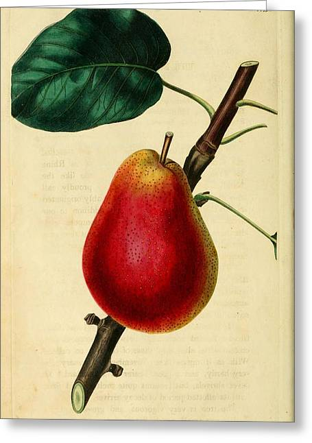 Pear Tree Paintings Greeting Cards - Pear 1829 Greeting Card by Philip Ralley