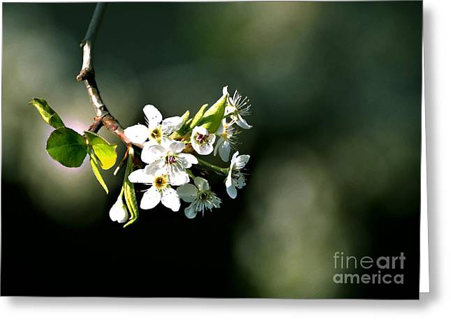 Fruit Tree Art Greeting Cards - Pear Blossom Digital Greeting Card by Linda Cox