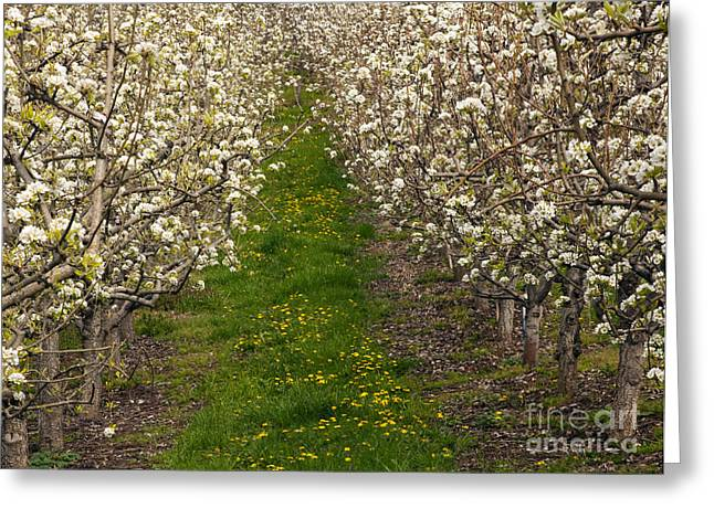 Pears Photographs Greeting Cards - Pear Blossom Lane Greeting Card by Mike  Dawson