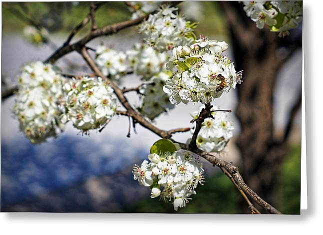 Pollinator Greeting Cards - Pear Blossom Pollinator Greeting Card by Cricket Hackmann