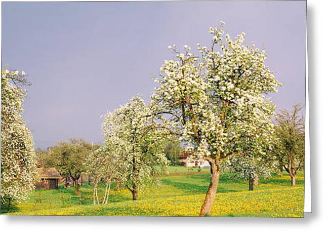 Pear Tree Greeting Cards - Pear Trees In A Field Pyrus Communis Greeting Card by Panoramic Images