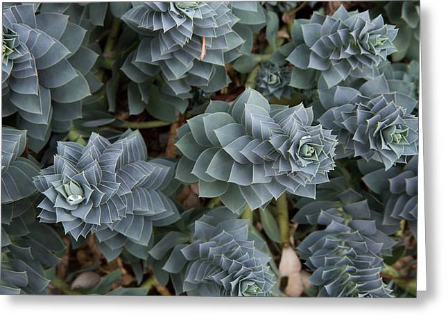 Succulents Greeting Cards - Pearls for hens and chicks Greeting Card by MaJoR  Images