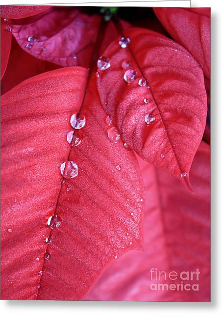 Pearls On Poinsettia Greeting Card by Carol Groenen
