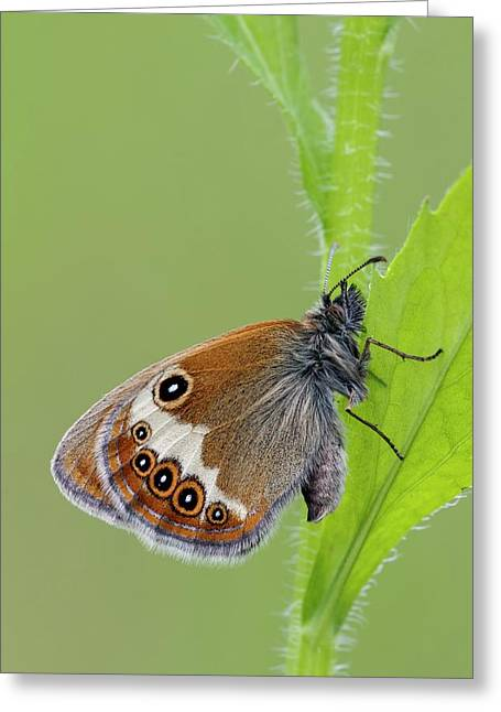 Pearly Heath Butterfly Greeting Card by Heath Mcdonald