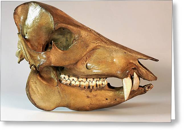 Peccary Skull Greeting Card by Ucl, Grant Museum Of Zoology