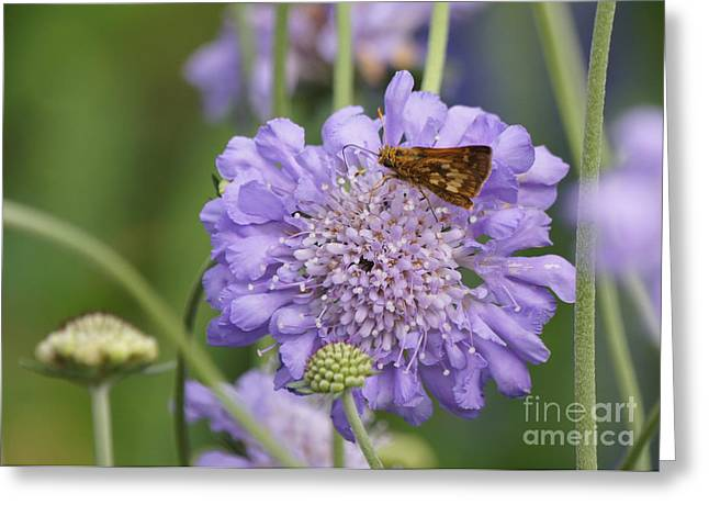 Reflections Of Infinity Greeting Cards - Pecks Skipper Butterfly on Pincushion Flower Greeting Card by Robert E Alter Reflections of Infinity