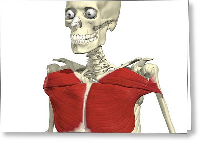 Pecs Greeting Cards - Pectoralis Major Greeting Card by Medical Images, Universal Images Group