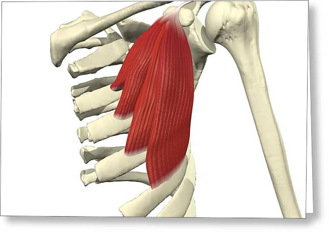Pecs Greeting Cards - Pectoralis Minor Greeting Card by Medical Images, Universal Images Group