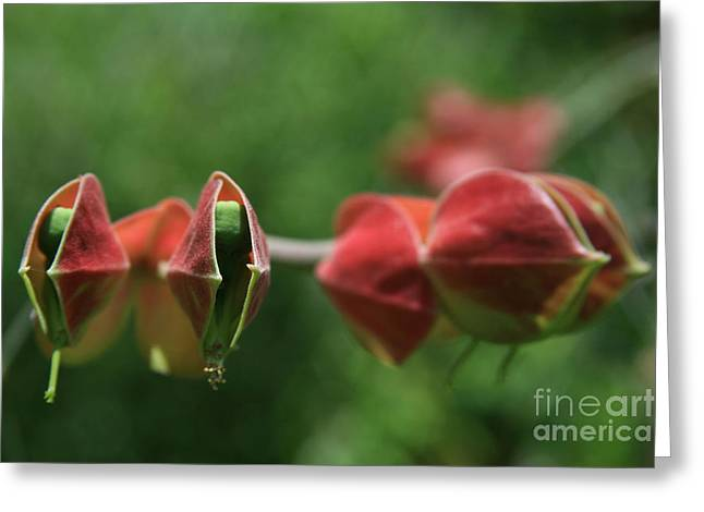 Euphorbiaceae Greeting Cards - Pedilanthus bracteatus Euphorbiaceae - Slipper Plant  Greeting Card by Sharon Mau
