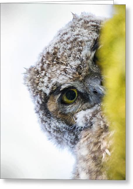 Owlets Greeting Cards - Peek a Boo Baby Owl Greeting Card by Angie Vogel
