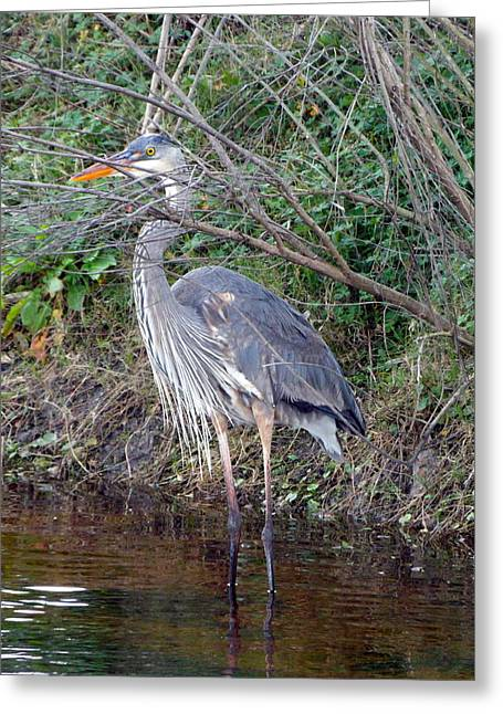 Great Blue Heron Framed Print Greeting Cards - Peek A Boo Great Blue Heron Greeting Card by Sheri McLeroy