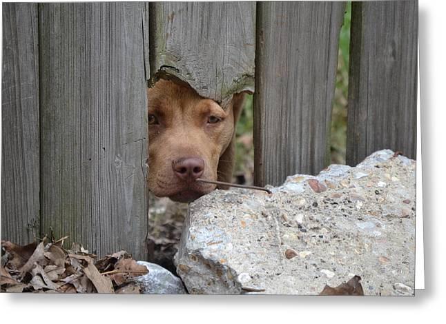 Brown Dog Greeting Cards - Peek A Boo Greeting Card by Kim Stafford