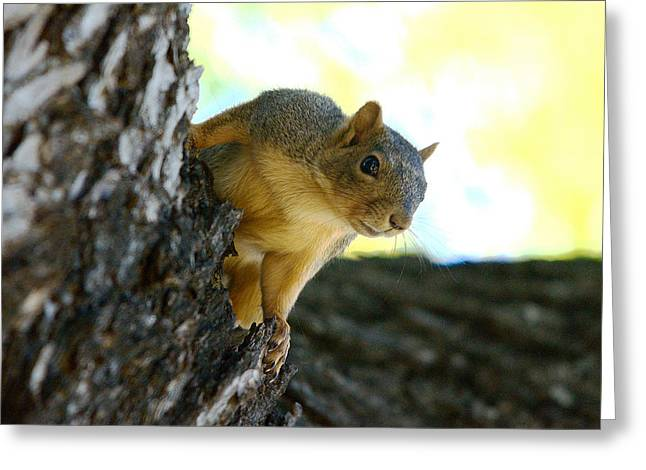 Eastern Fox Squirrel Greeting Cards - Peek A Boo Greeting Card by Roy Williams