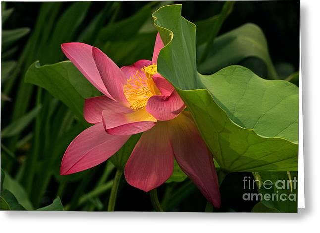 Lotus Full Bloom Greeting Cards - Peekaboo Lotus Blossom Greeting Card by Byron Varvarigos