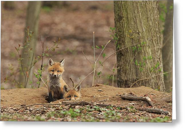 Fox Kit Greeting Cards - Peeking from the fox hole Greeting Card by Everet Regal