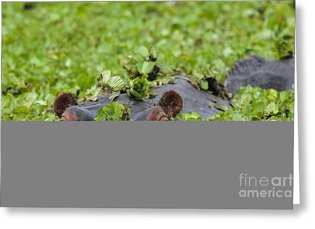 Lettuce Greeting Cards - Peeking Hippo Greeting Card by John Shaw