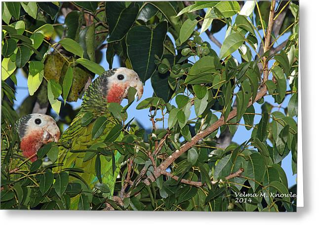 Pairs Tapestries - Textiles Greeting Cards - Peeking Pair - Bahama Parrots  Greeting Card by Velma Knowles
